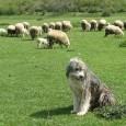 Chiar nu este o figurã de stil, ci pur şi simplu cu asta se ocupã în ultima vreme parlamentarii: cu paza la oi, cum se spune în popor sau a...