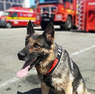 """Din cadrul Inspectoratului pentru Situaţii de Urgenţă """" Drobeta"""" al judeţului Mehedinţi face parte şi Poma, alintată de pompieri Tina, un câine ciobănesc german, care de curând a împlinit vârsta..."""